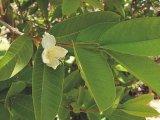 Guarana květ