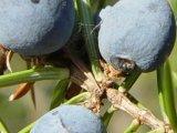 Jalovec plod 2