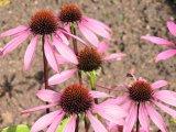 Třapatkovka nachová - Echinacea 1