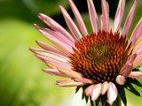 Třapatkovka nachová - Echinacea 2