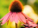 Třapatkovka nachová - Echinacea  3